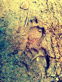 Recently discovered bear tracks near my fire pit on the farm